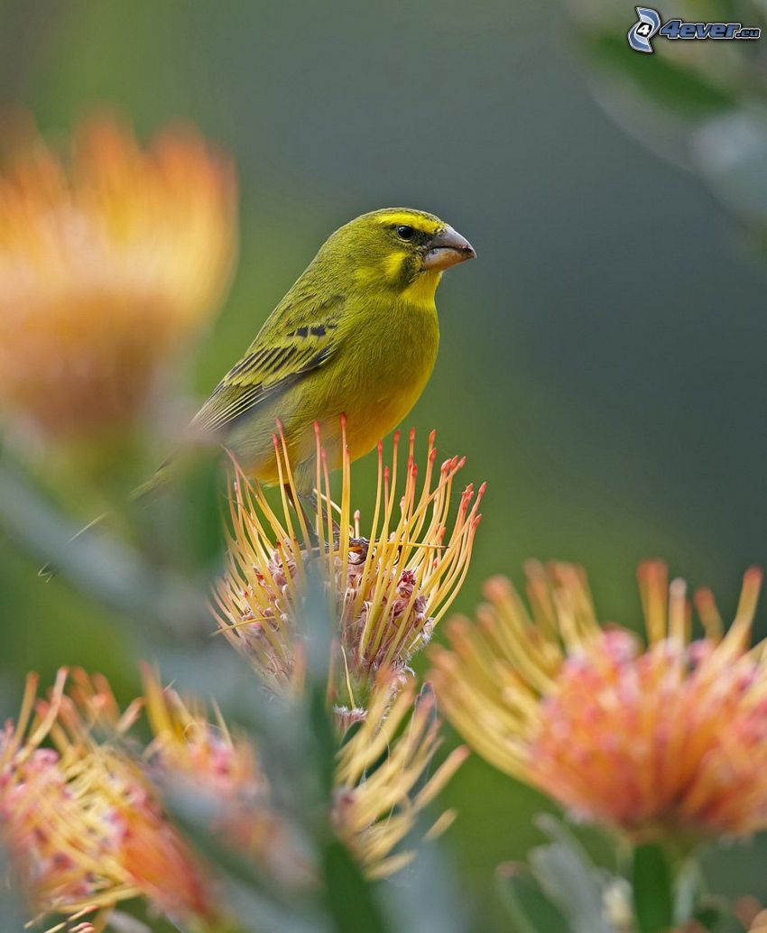 kanariefågel, blomma