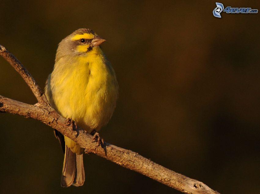 kanariefågel, kvist