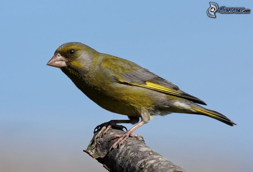 kanariefågel, trä