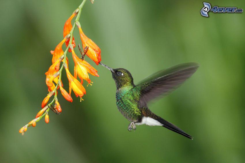 kolibri, blomma