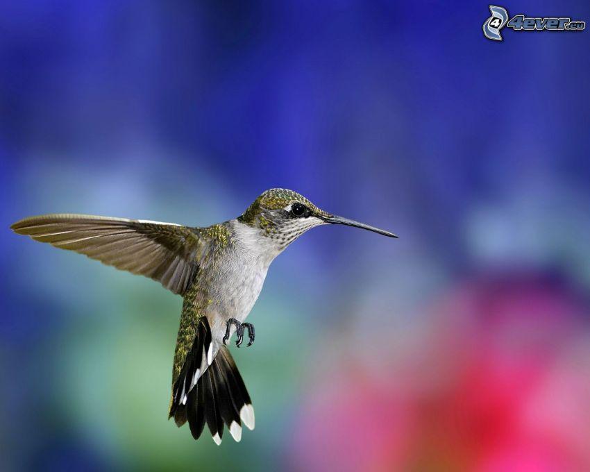 kolibri, flyg
