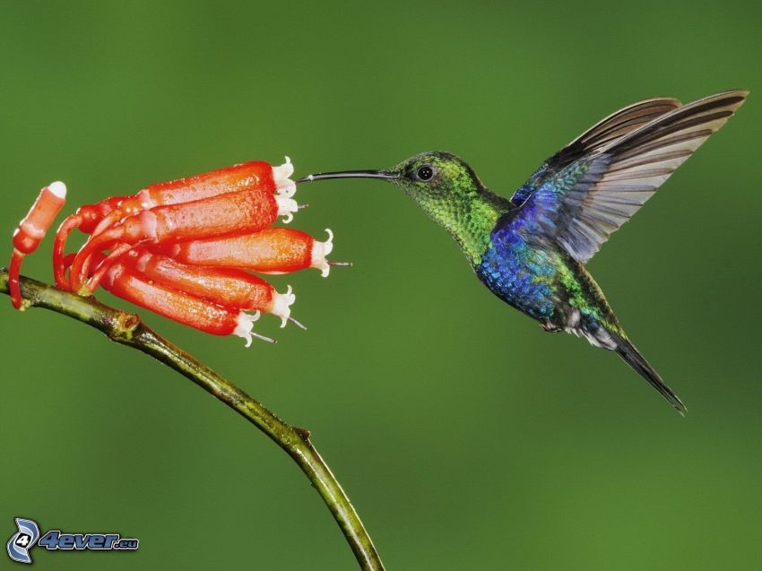 kolibri, röd blomma