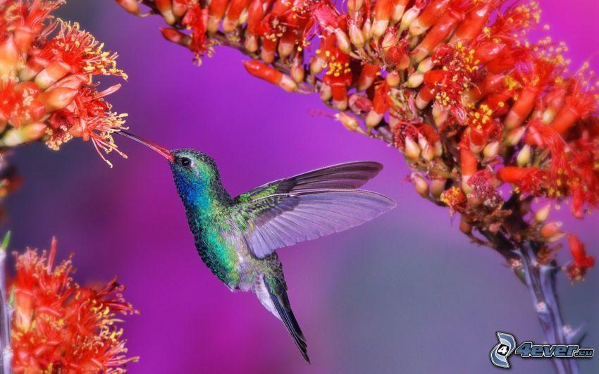 kolibri, röda blommor