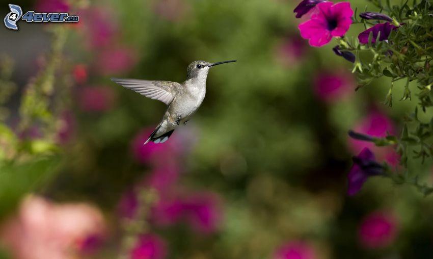 kolibri, rosa blomma
