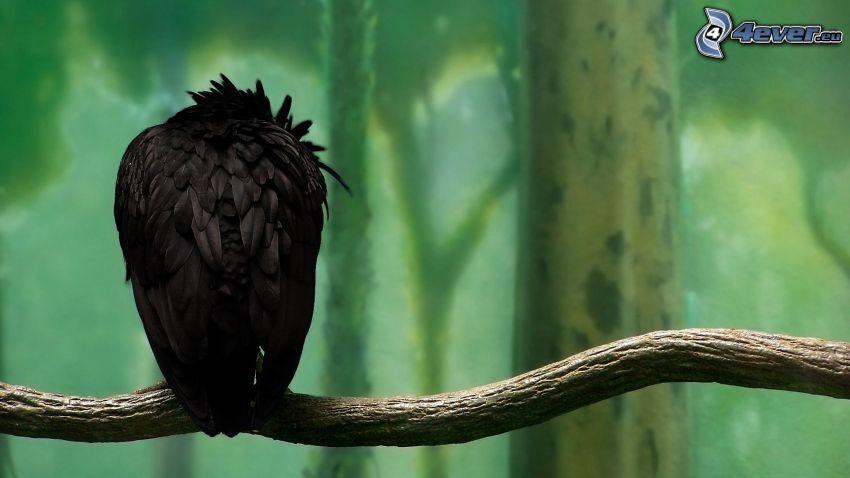 kråka, gren