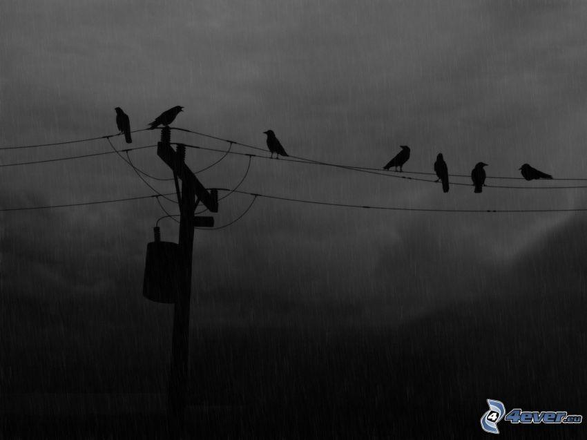 kråkor, elledningar