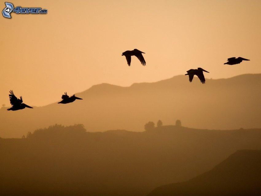kråkor, siluetter