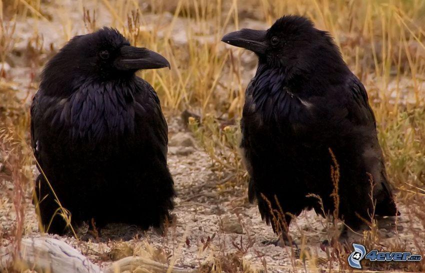 kråkor, ungar