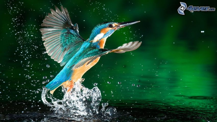 kungsfiskare, vatten, plask