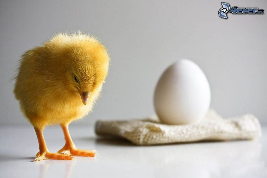 kyckling, ägg, sorg