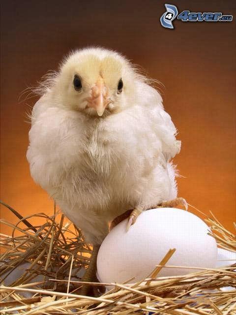 kyckling, ägg
