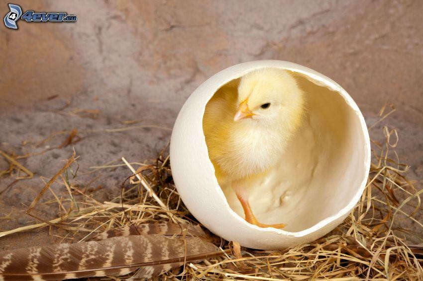 kyckling, skal, fjädrar