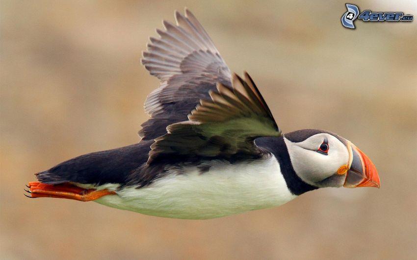Lunnefågel, flyg