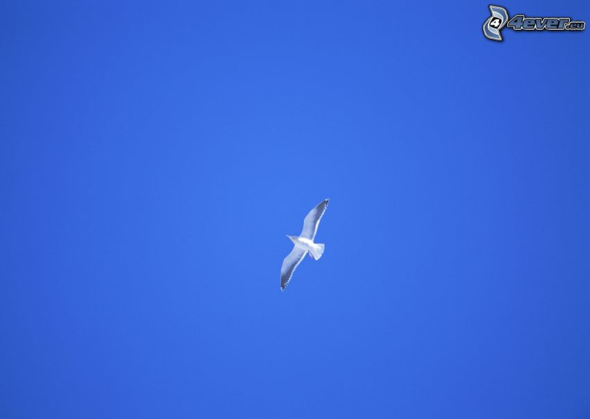 mås, flyg, blå himmel