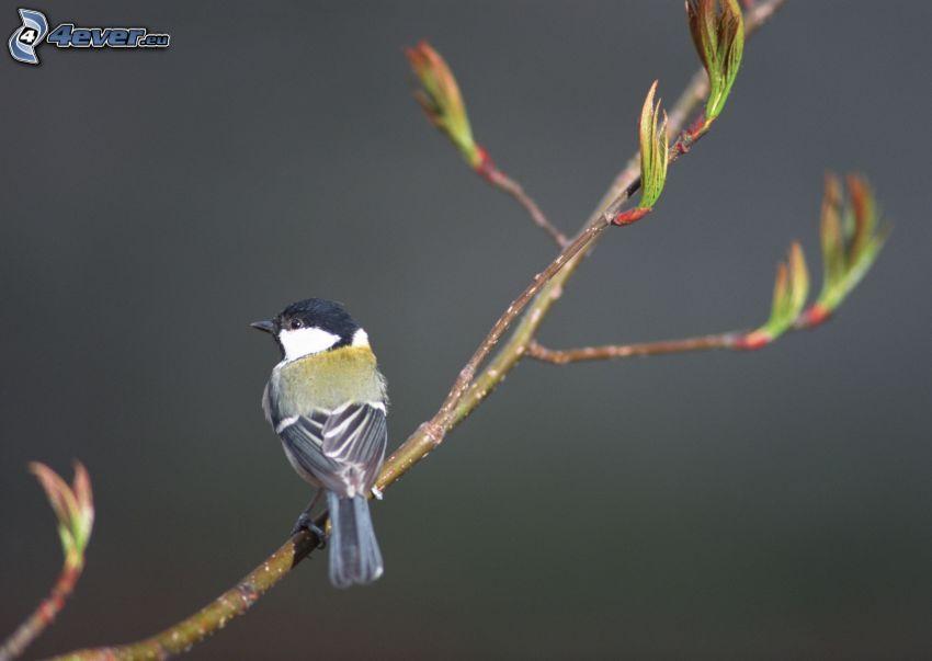 mes, fågel på gren