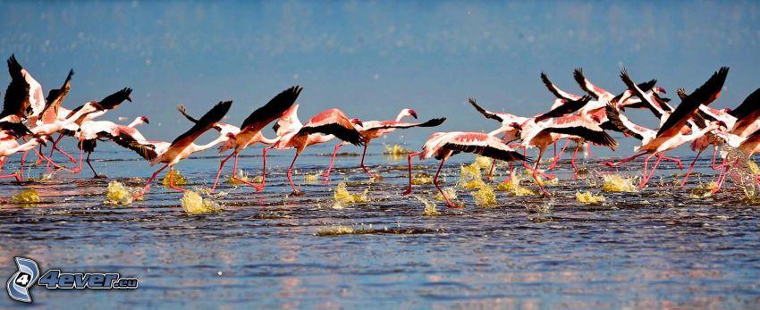 Nakuru, sjö, flamingos