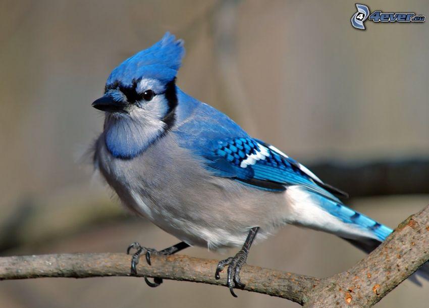 nötskrika, blå fågel