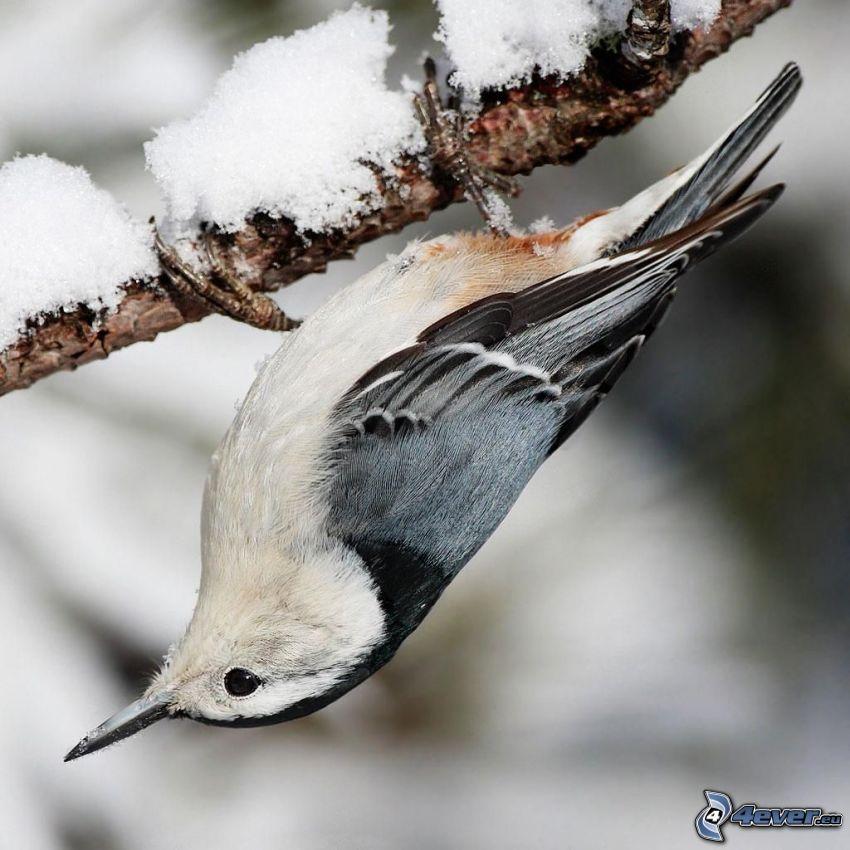 nötväcka, snö, gren
