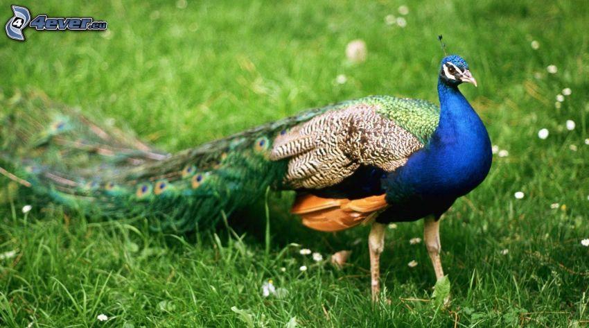 påfågel, grönt gräs