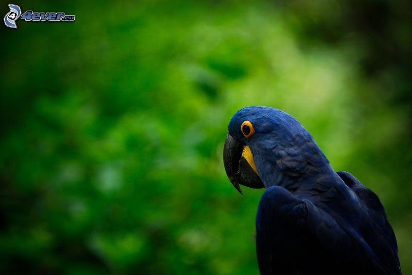 papegoja, blå fågel