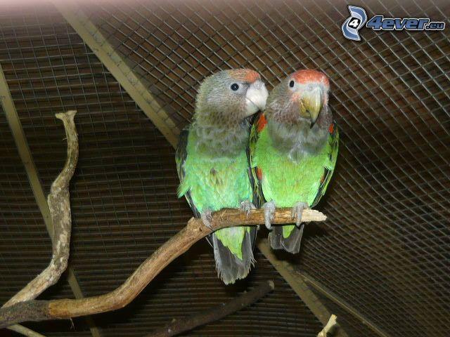 papegojor, gren, bur