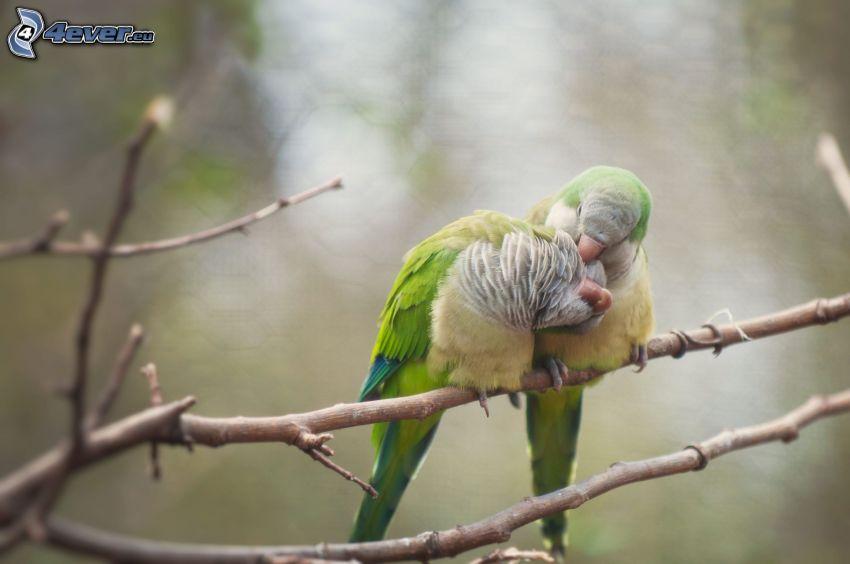 papegojor, grenar