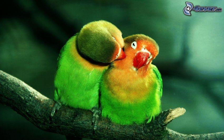 papegojor, par, gren