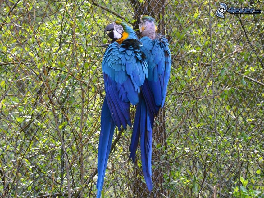 papegojor, stängsel