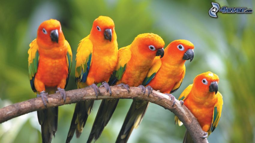 papegojor
