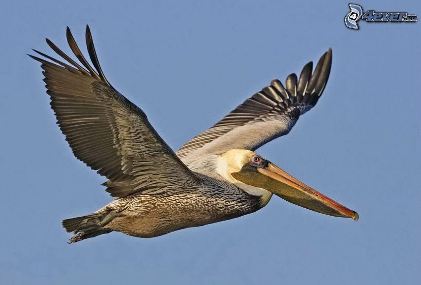 pelikan, flyg