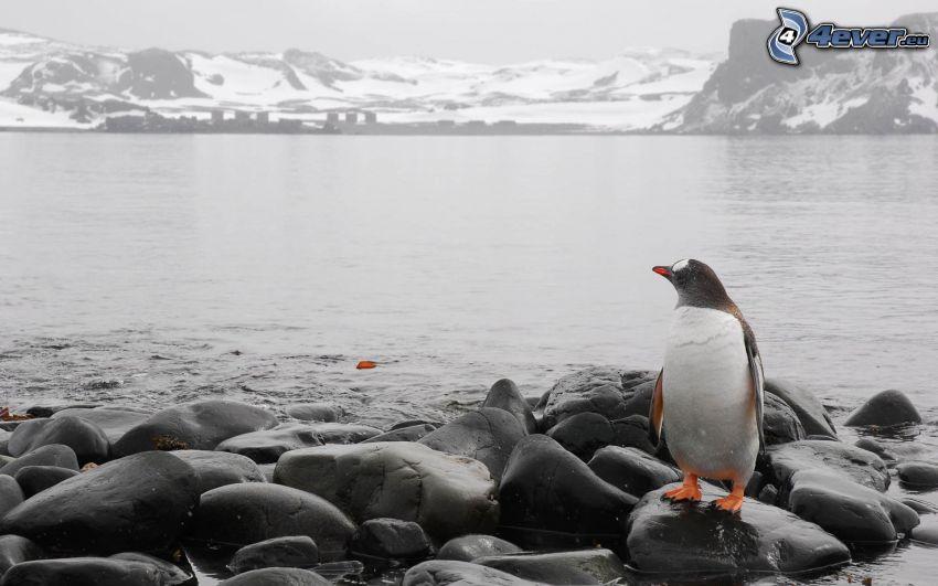 pingvin, stenar, steniga kullar, snö