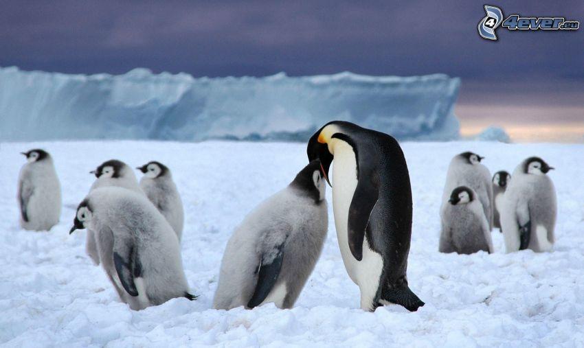 pingvin och dens unge, pingviner, ungar, snö