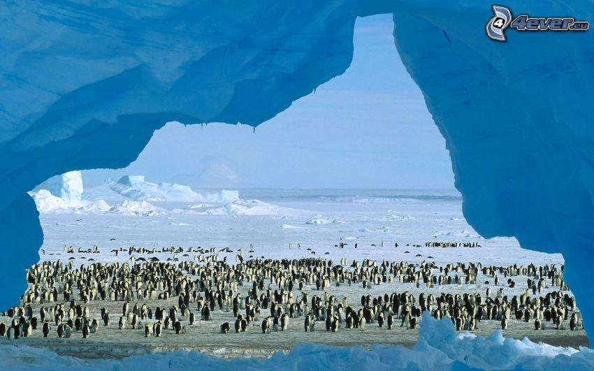 pingviner, snö, Antarktis