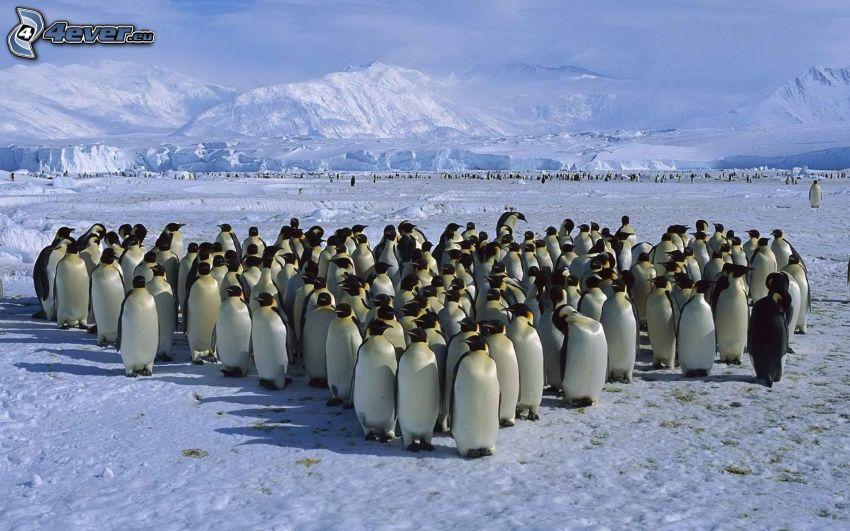 pingviner, snö, snöklädda berg