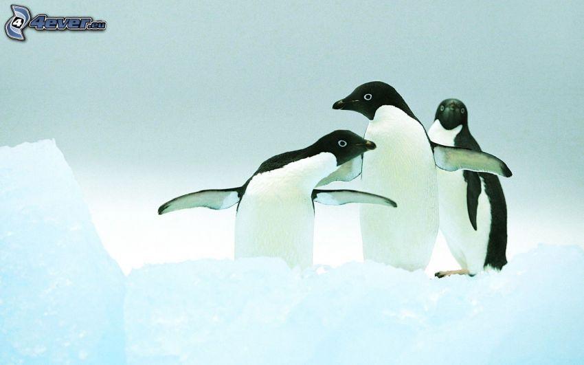 pingviner, snö