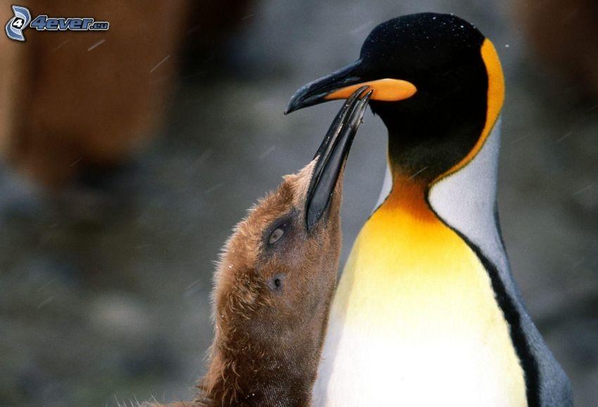 pingviner, unge