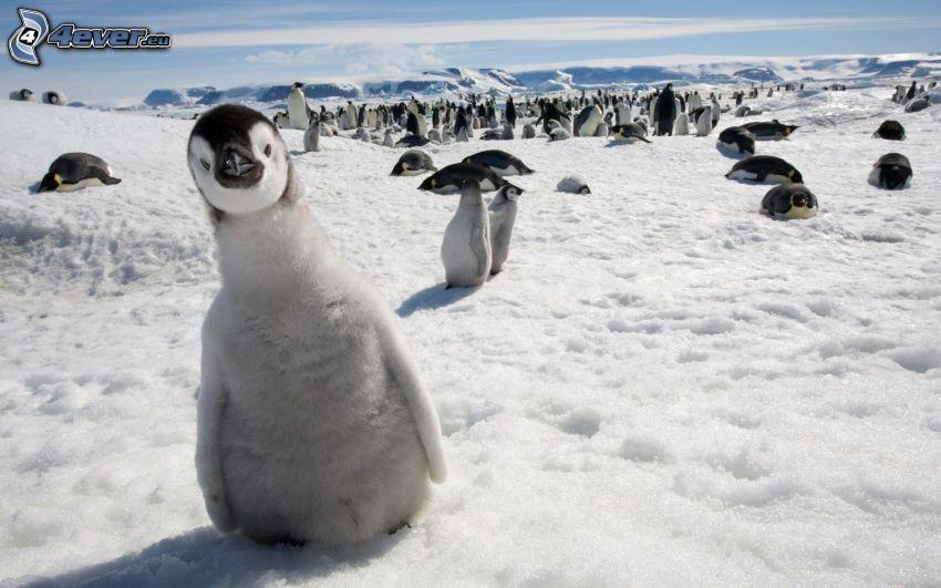 pingvinunge, pingviner, snö