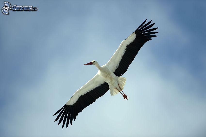 stork, flyg, vingar