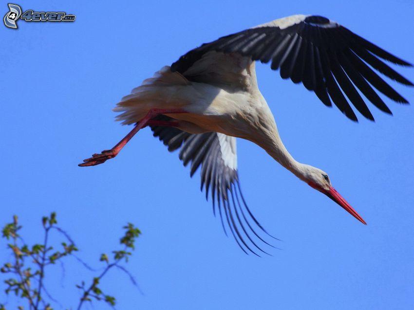stork, flyg