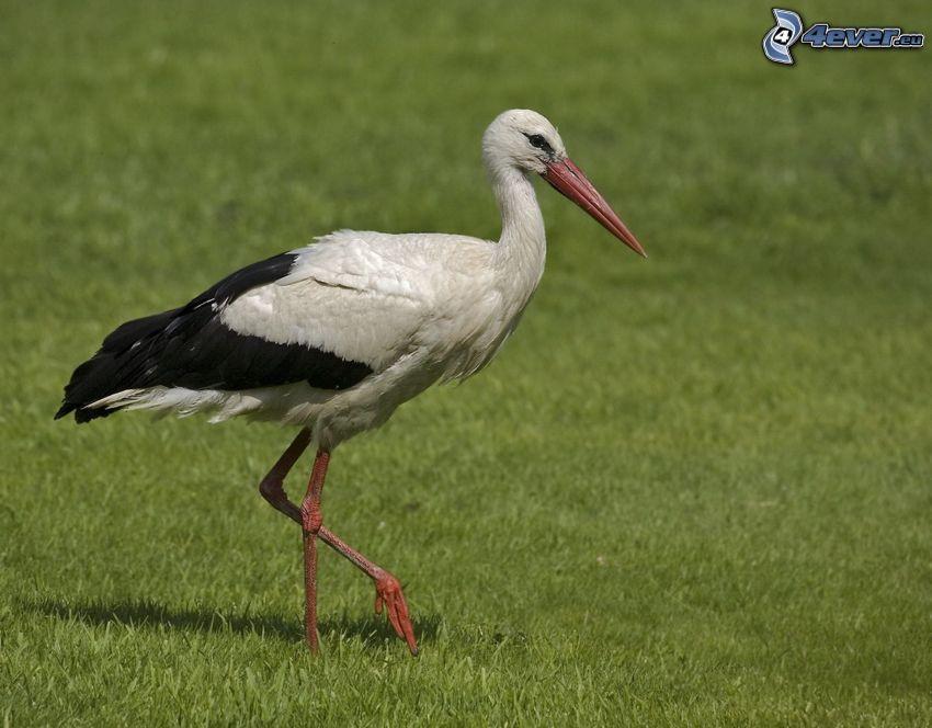 stork, gräs