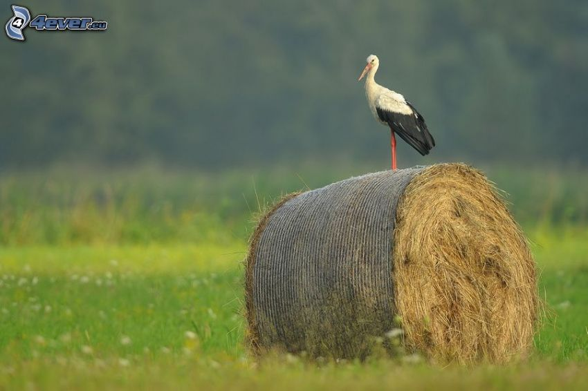 stork, hö efter skörd