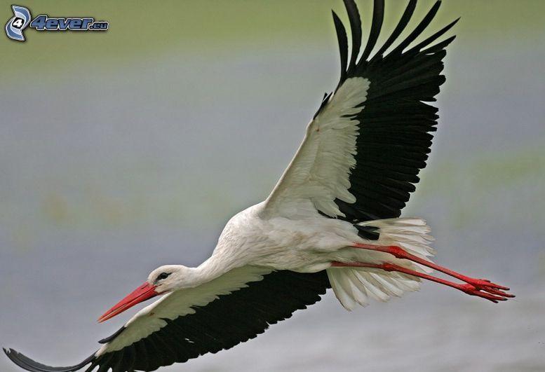 stork, vingar, flyg