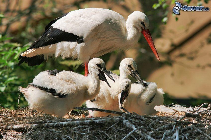 storkar, ungar