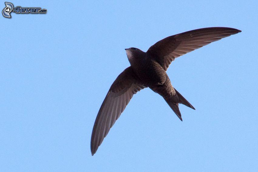 svala, vingar, flyg
