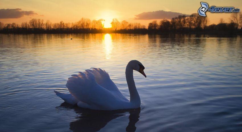 svan, sjö, solnedgång bakom sjö