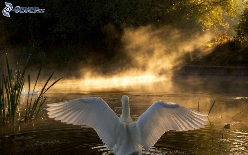 svan, vingar, sjö, solstrålar, reflektion av solen, träd