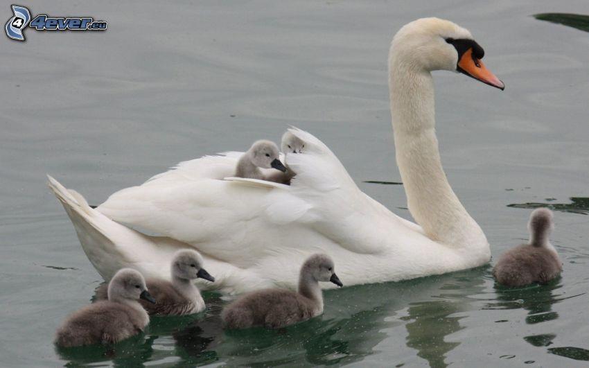 svan och ungar, sjö