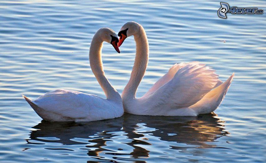 svanar, kärlek, vatten