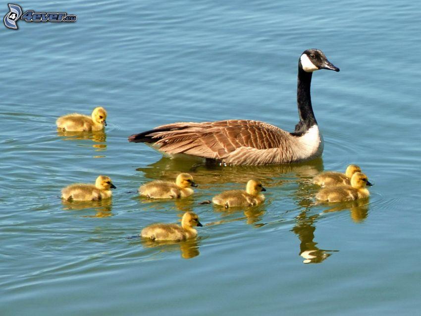 svanar, ungar, vatten