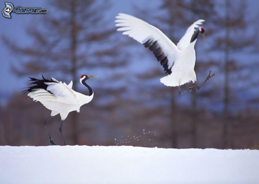 Tranor, landning, snö